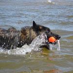 Canis mit Dummy in der Ostsee