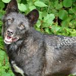 Wolf im Adler- und Wolfspark auf der Kasselburg