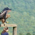 Vogelschau im Adler- und Wolfspark auf der Kasselburg