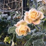 Kandierte Zuckerrosen, ein Advent-Geschenk der Natur.