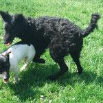Jack Russel Abby und ein Mudi (ungarischer Hütehund)