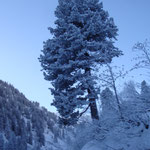 Zirbenbaum in den Alpen im Winter