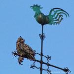 Altvogel mit Beute auf der Elisabethkirche. Foto: Axel Wellinghoff