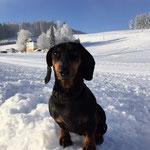 Kurzhaar-Dackel lieben durchaus auch den Schnee (2014)