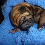 Новорождённый шарпей