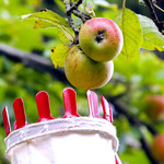 Apfelernte Foto: Kathy Büscher