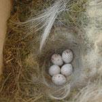 Nest einer Kohlmeise - Foto: Britta Raabe