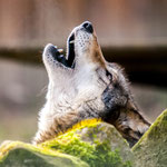 heulender Wolf - Foto: Kathy Büscher