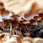 Hornissen Foto: Britta Raabe