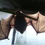 Fledermaus Foto: Britta Raabe