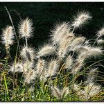 Gras im Gegenlicht von Lothar Hladik