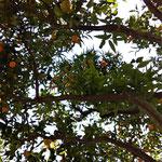 in einem Innenhof unter Apfelsinen- und Zitronenbäumen gab es Milchkaffee und Kuchen