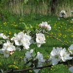 die Blütenpracht  (Apfel ?) rüchtig ;-)   von Werner