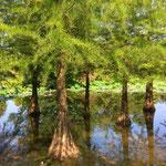 ein im Wasser stehender großer Sumpfzypressenwald