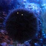 einem Seeigel mit Augen ;-)