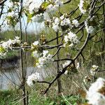 die ersten Kirschblüten    am Deich