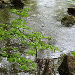 heute immer noch brodelnd der Laacher See