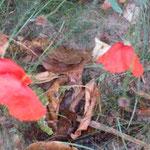 die letzten Mohnblumen und das erste Herbstlaub