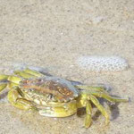 Krabbe am Ostseestrand auf Shoppintour