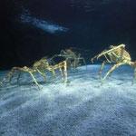 die japanischen Seespinnen
