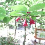 ヤブウツギ 2019年5月25日 桜の園・亦楽山荘