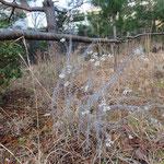 カワラハハコ・ドライフラワー状 2017年1月10日 ゆずり葉の森