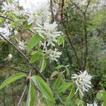 ザイフリボク 2018年4月8日 武庫山の森