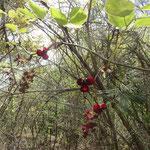 ミツバアケビ・花(1) 2016年4月12日 ゆずり葉の森