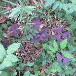 オキザリス・トリアングラリス 武庫山の森 2018年10月7日