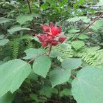 エビガライチゴ 2018年7月3日 桜の園・亦楽山荘