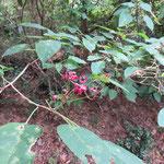 クサギ 2016年10月25日 武庫山の森