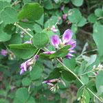 マルバハギ 2017年8月9日 ゆずり葉の森