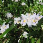 シャガ 2018年5月1日 桜の園・亦楽山荘