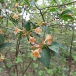 コツクバネウツギ 2018年5月8日 ゆずり葉の森