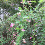 ミヤギノハギ 2017年9月6日 ゆずり葉の森