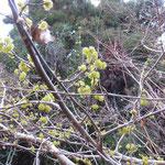 アブラチャン 2018年3月24日 桜の園・亦楽山荘