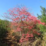 真っ赤に紅葉したハゼ 2017年11月13日 ゆずり葉の森