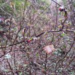ヤブサンザシ 2018年1月18日 桜の園・亦楽山荘