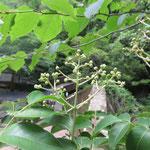 ゴンズイ 2018年6月13日 桜の園・亦楽山荘
