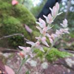ミヤマウズラ 2020年9月14日 桜の園(亦楽山荘)