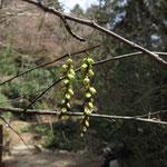 キブシ 2018年3月24日 桜の園・亦楽山荘