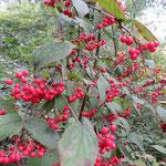 コバノガマズミ 2016年10月25日 武庫山の森