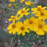 レモンマリーゴールド 2017年12月3日 武庫山の森