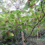 イイギリ 2016年10月25日 武庫山の森