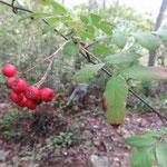 ナンキンナナカマド 桜の園・亦楽山荘 2018年10月5日