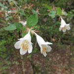 ツクバネウツギ 2017年5月10日 ゆずり葉の森