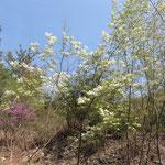 マルバアオダモ(1) 2016年4月12日 ゆずり葉の森