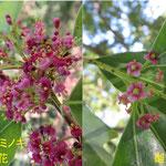 ナナミノキ 雄花&雌花 2020年6月7日 武庫山の森