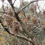 ハゼ・実 2016年12月4日 武庫山の森
