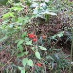 ヒヨドリジョウゴ 2016年10月25日 武庫山の森